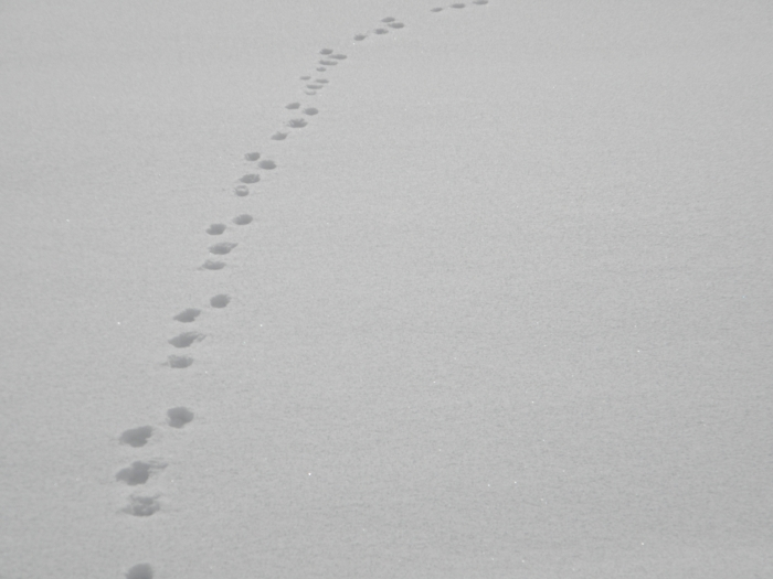 Hare_tracks_on_snow